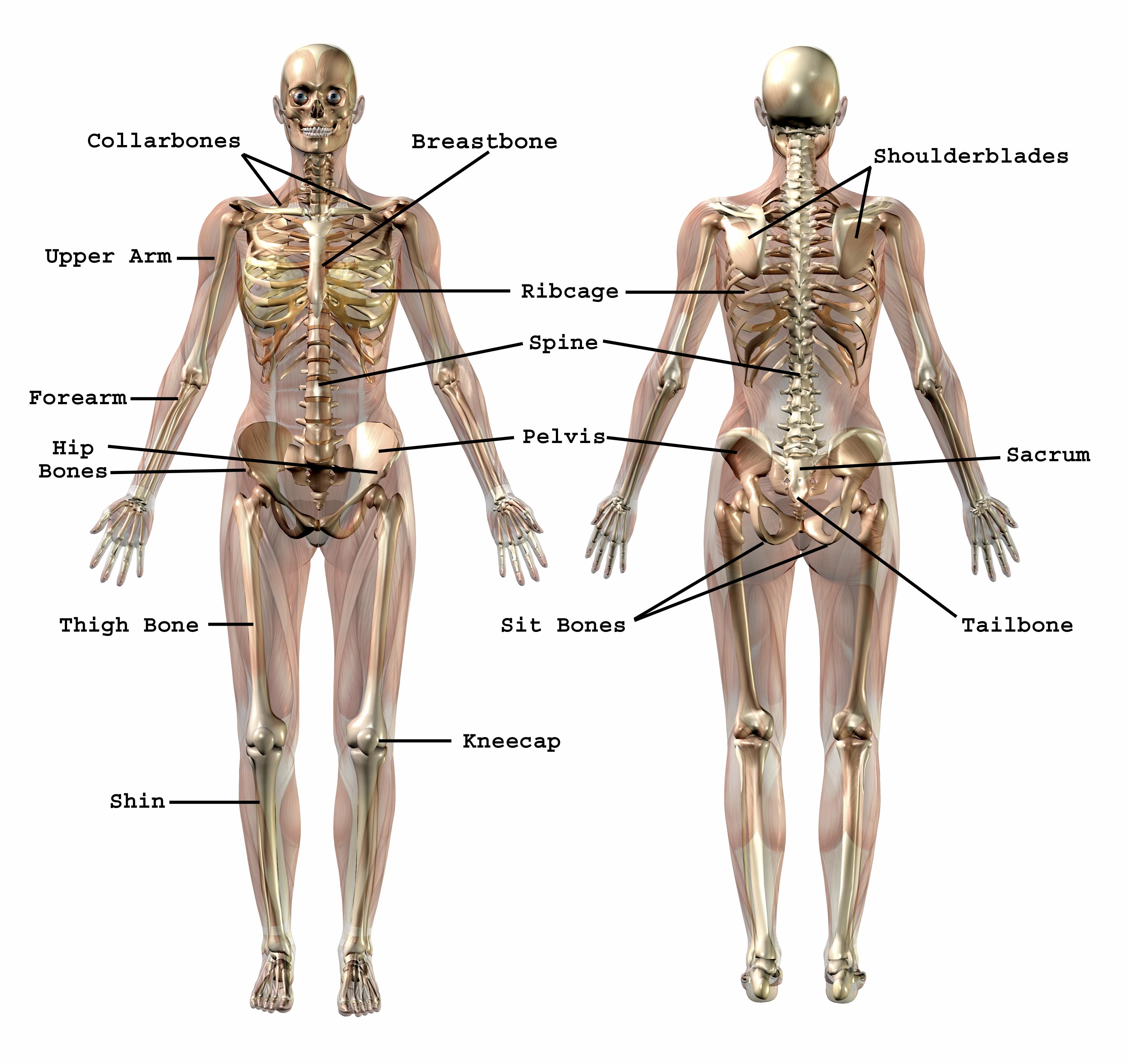 Common Use Bone NamesUpper Back Bones